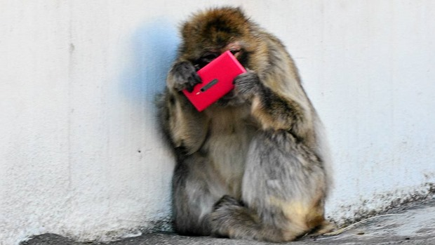 Un Nokia Lumia 800 rose devient le jouet d'un chimpanzé